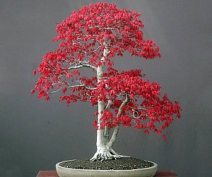 Bonsai Red Maple Tree Starter Kit